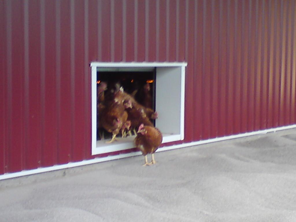 13 april, första hönan ute. Vi inviger verandan.