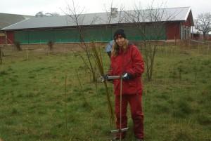 Susanne planterar salixpil till hönorna v15 2014